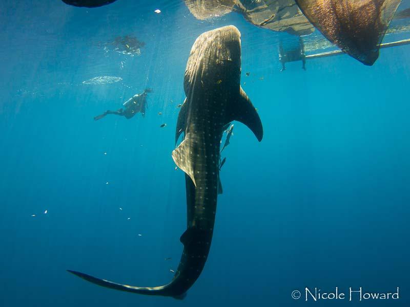 Whale Shark, Cenderawasih, West Papua, 2015. [image source: Nicole Howard], crowd ink, crowdink, crowdink.com, crowdink.com.au