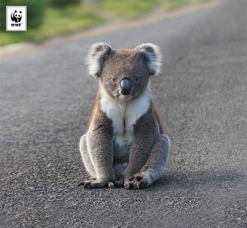 WWF Koala