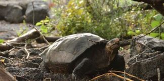Fernandina Giant Tortoise (Image Source: goodnewsnetwork.org )