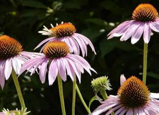 Echinacea (Image Source Old Farmers )