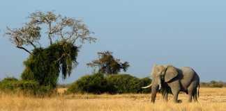 Elephant in Botswana, crowd ink, crowdink, crowdink.com, crowdink.com.au