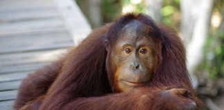 Orangutan (Image Source: National Geographic), crowdink.com, crowdink.com.au, crowd ink, crowdink