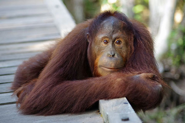 Orangutan (Image Source: National Geographic), crowdink.com, crowdink.com.au, crowd ink, crowdink