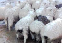Savvy Rabbits (Image Source: The Guardian), crowdink.com, crowdink.com.au, crowd ink, crowdink